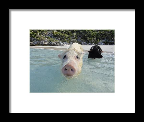 Swimming Framed Print featuring the photograph Swimming Pigs by Adrian Oldham