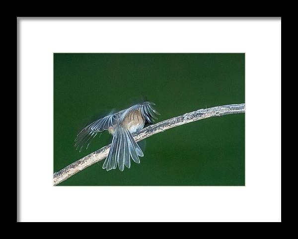 Bird Framed Print featuring the photograph Tail Feathers by Paul Johnson