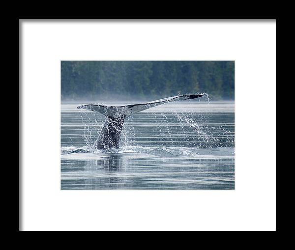 One Animal Framed Print featuring the photograph Tail Of Humpback Whale by Grant Faint
