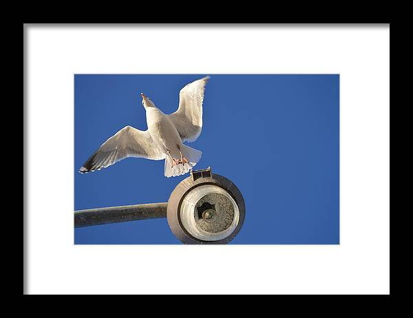 Herring Gull Framed Print featuring the photograph Take Off by Jessica Cruz