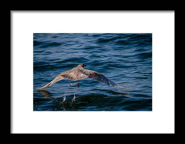 Ocean Pacific North West Bird Water Splash Wildlife Nature San Juan Island Friday Harbor Sailing Boat Framed Print featuring the photograph Take Off by Nate Parks