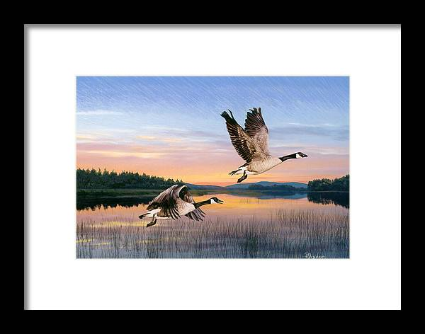 Geese Framed Print featuring the drawing Taking Flight by Brent Ander