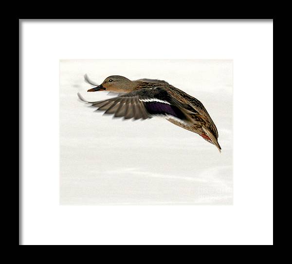 Taking Off Framed Print featuring the photograph Taking Off by John Telfer