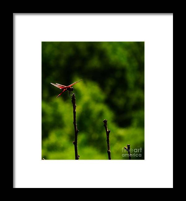 Dragonfly Framed Print featuring the photograph Tallest Dragonfly Post by Rrrose Pix