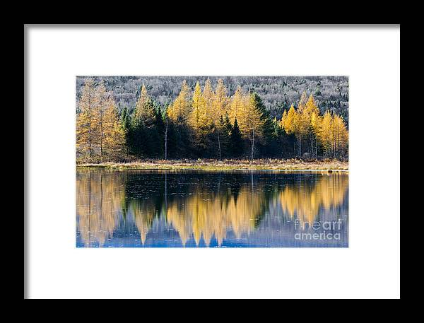 Fall Framed Print featuring the photograph Tamarack Reflections by Alan L Graham
