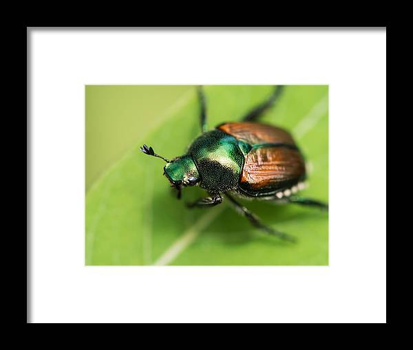 Japanese Beetle Framed Print featuring the photograph Tank by Ryan Brady-Toomey