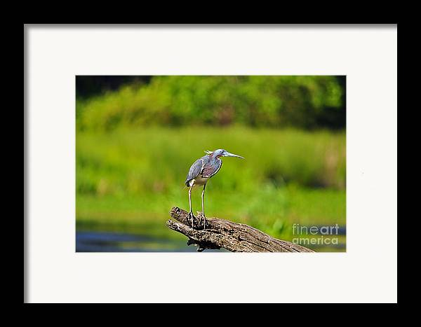 Heron Framed Print featuring the photograph Tantalizing Tricolored by Al Powell Photography USA