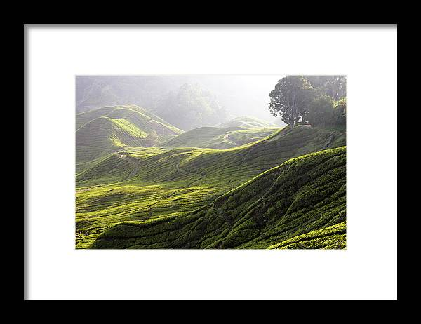 Tranquility Framed Print featuring the photograph Tea Estate by Daniel Osterkamp