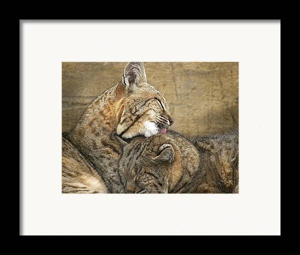 Bobcats Framed Print featuring the photograph Tender Loving Care by Teresa Schomig