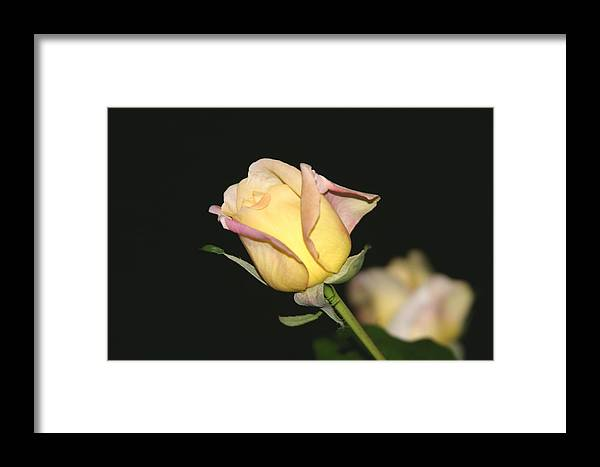 Yellow Rose Framed Print featuring the photograph Tender Rose by Dervent Wiltshire