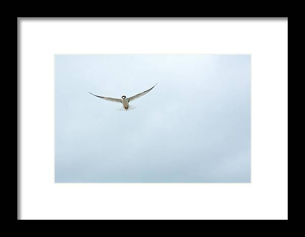 Nature Framed Print featuring the photograph Tern In Flight by MaryGail Perkins