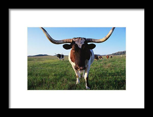 Horned Framed Print featuring the photograph Texas Longhorn Cattle by John Elk
