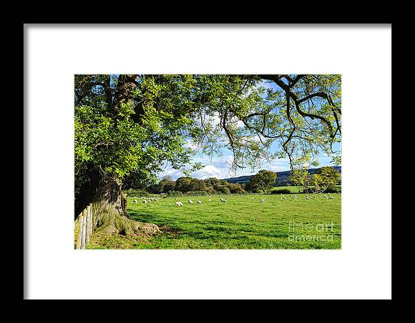 Cheshire Framed Print featuring the photograph The Beautiful Cheshire Countryside - Large Oak Tree Frames A Field Of Lambs by David Hill