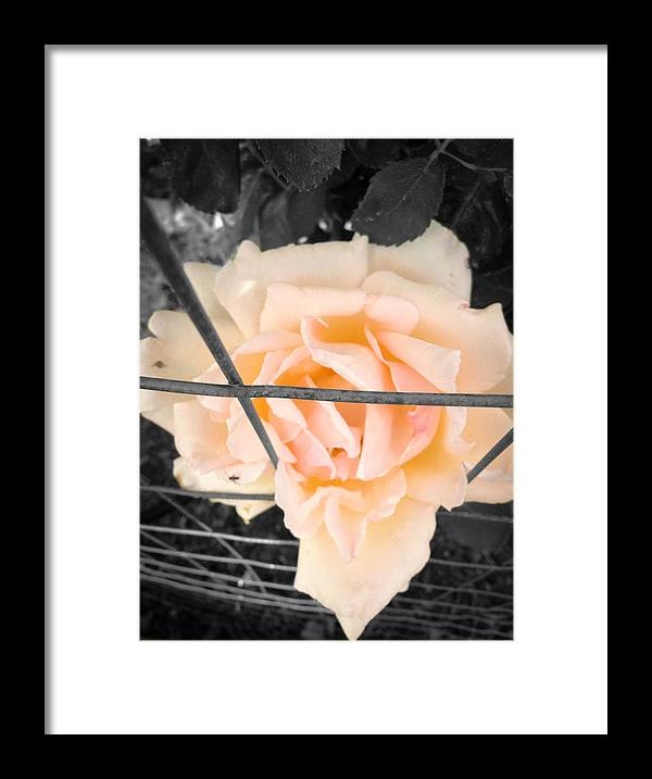 Black And White Framed Print featuring the photograph The Beautiful Rose by Alissa Hobaugh