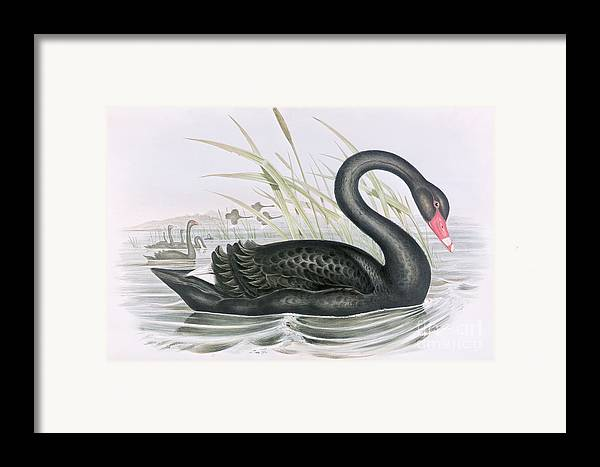 Black Swan Framed Print featuring the painting The Black Swan by John Gould