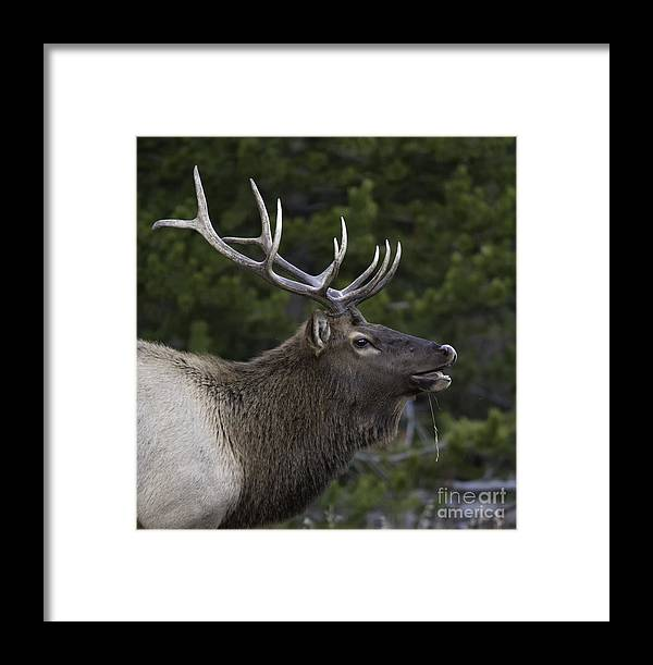 Bull Framed Print featuring the photograph The Bugle by Carolyn Fox