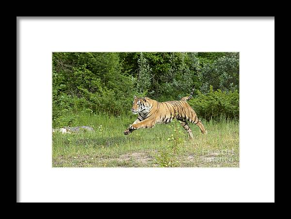 Tiger Framed Print featuring the photograph The Chase Begins by Sandra Bronstein