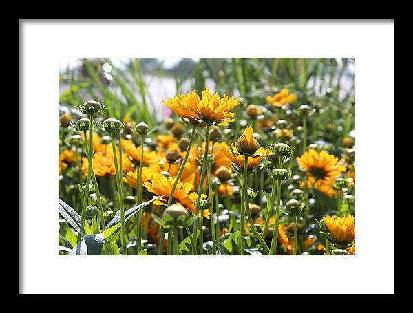 Landscape Framed Print featuring the photograph The Color Of Sunshine by Theresa Lauria