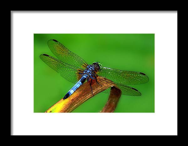 Dragonfly Framed Print featuring the photograph The Dragonfly by Diana Child