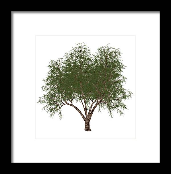 Tamarix Gallica Framed Print featuring the photograph The French Tamarisk Tree by Elena Duvernay