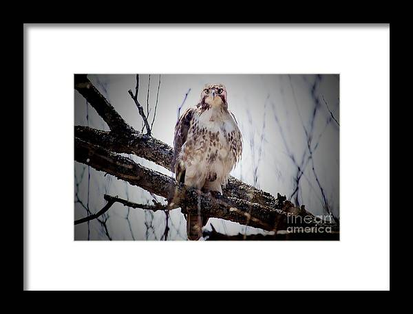 Hawk Framed Print featuring the photograph The Hawk by Jim Lepard