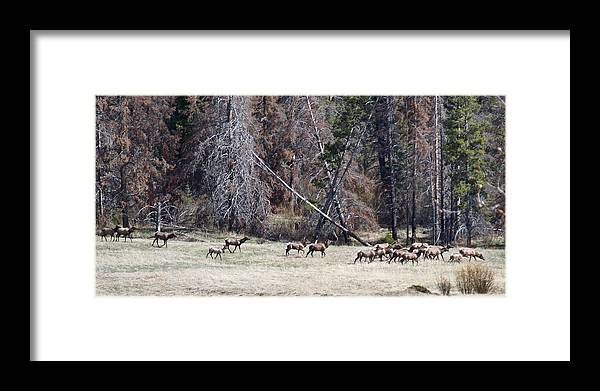 Elk Framed Print featuring the photograph The Herd by Susan Kinney