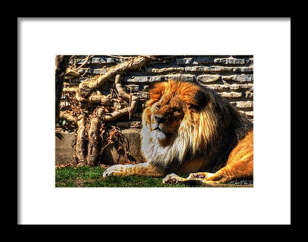Lion Framed Print featuring the photograph The King Lazy Boy At The Buffalo Zoo by Michael Frank Jr