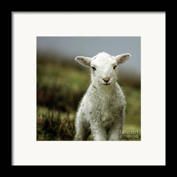 Wales Framed Print featuring the photograph The Lamb by Angel Tarantella