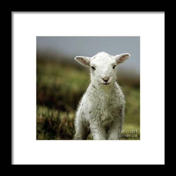 Wales Framed Print featuring the photograph The Lamb by Angel Ciesniarska