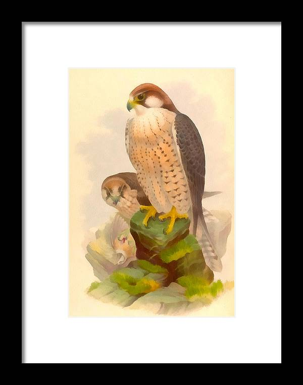 Vintage File Collection Framed Print featuring the digital art The Lanner Falcon by Vintage File Collection