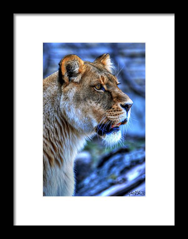 Lion Framed Print featuring the photograph The Lioness Alert by Michael Frank Jr
