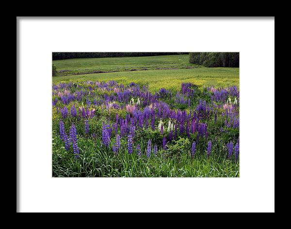 Lupine Framed Print featuring the photograph The Lupine Field by Wayne King