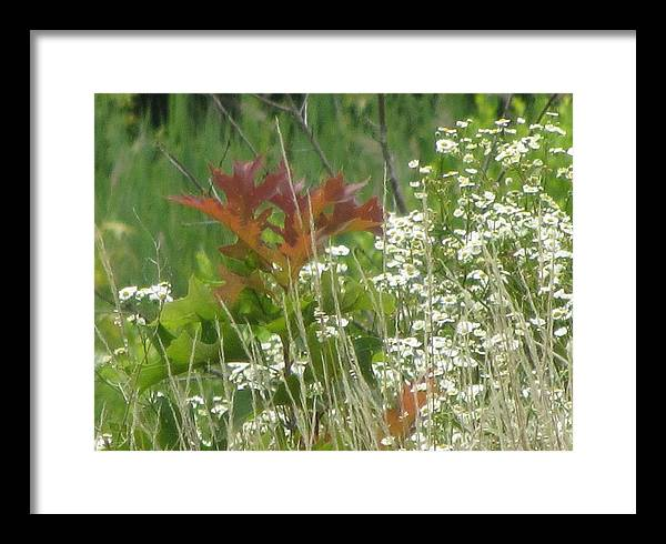 Oak Framed Print featuring the photograph The Mighty Tiny Oak Amidst White Flowers by Debbie Nester