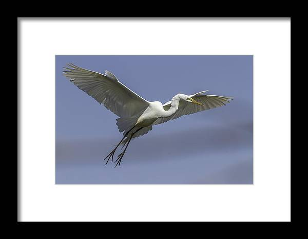 Great Egret Framed Print featuring the photograph The Perfect Pose by Thomas Young