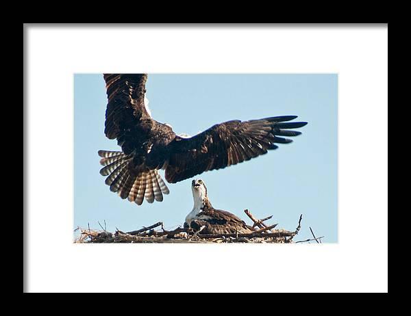Osprey Framed Print featuring the photograph The Return by Geraldine Alexander