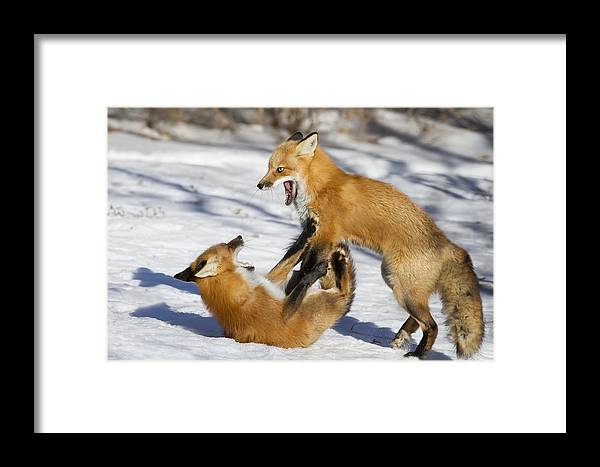 Wild Framed Print featuring the photograph The Rivals by Mircea Costina Photography