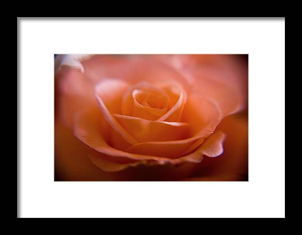 Flower Framed Print featuring the photograph The Rose by Kim Lagerhem