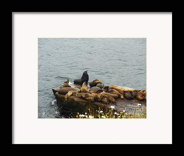 The Sea Lion And His Harem Framed Print featuring the photograph The Sea Lion And His Harem by Mary Machare
