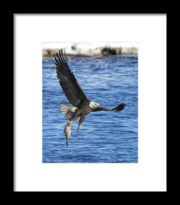 American Bald Eagle Framed Print featuring the photograph The Spoils by Coby Cooper
