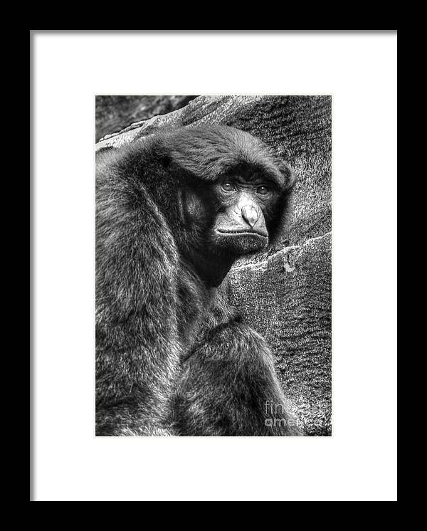 Gibbon Framed Print featuring the photograph The Stare by Kathy Baccari