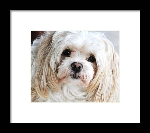 Maltese Portrait Art Framed Print featuring the photograph The Sweetest Maltese by Lisa DiFruscio