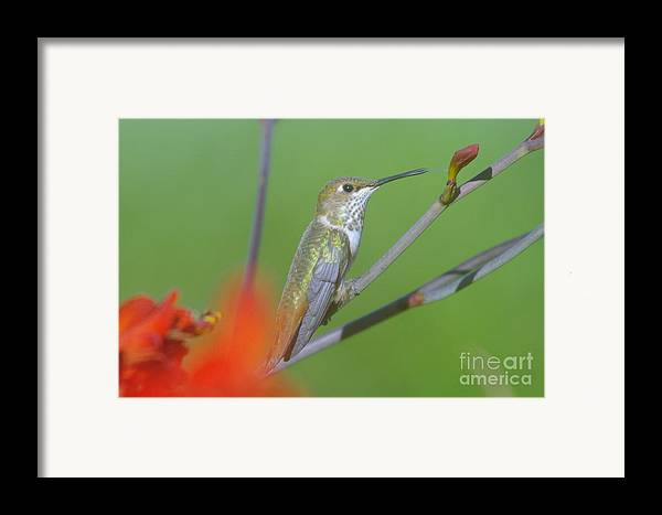 Tongue Framed Print featuring the photograph The Tongue Of A Humming Bird by Jeff Swan