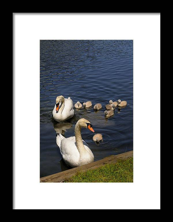 Swan Framed Print featuring the photograph The Whole Family by William McEvoy