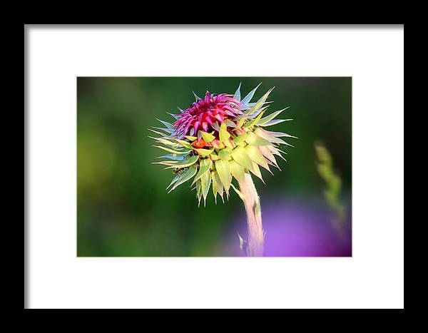 Fine Art Photography Framed Print featuring the photograph Thistle And Company by Jennifer Sturch