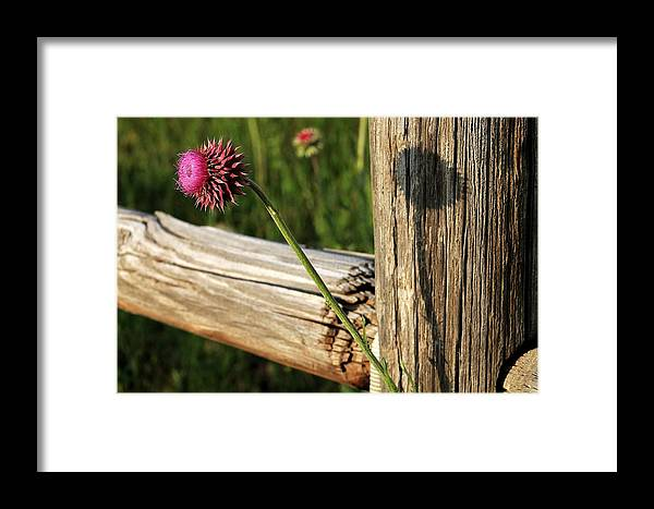 Fine Art Photography Framed Print featuring the photograph Thistle And Shadow by Jennifer Sturch