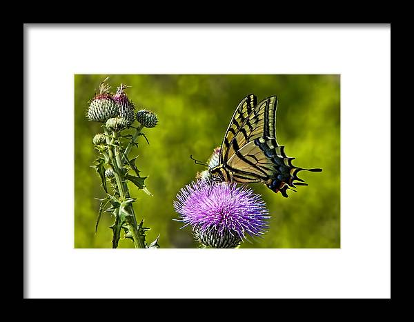 A Tiger Swallowtail (papilio Glaucus) Was Actively Feeding On A Purple Thistle Blossom During Peak Wildflower Season Framed Print featuring the photograph Thistle Do Just Fine by Gary Holmes