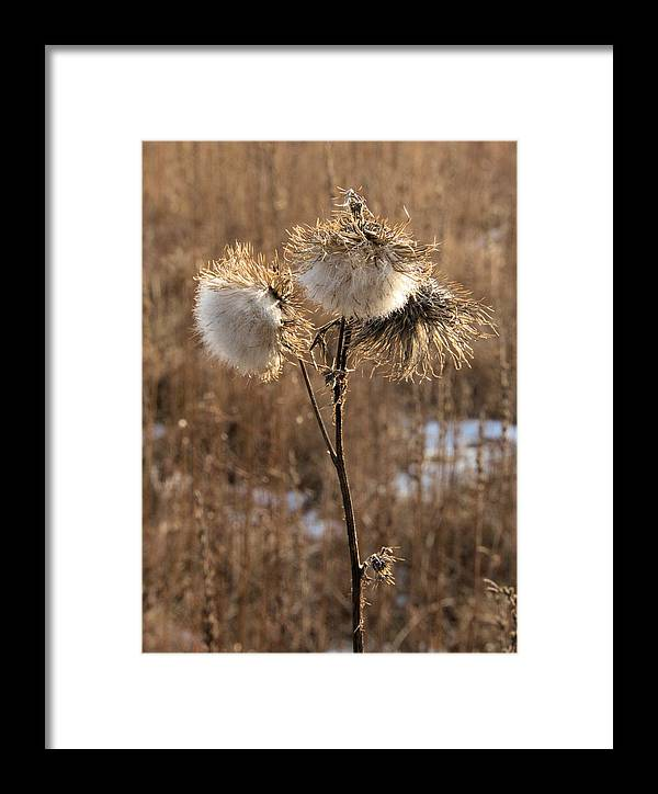 Flower Framed Print featuring the photograph Thistle Fluff by Valerie Kirkwood