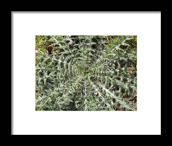 The Architecture Of Plant Life Framed Print featuring the photograph Thistle by Nancy Kane Chapman