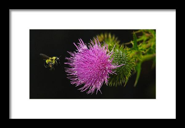 Thistle Framed Print featuring the photograph Thistle While You Work by Karl Anderson