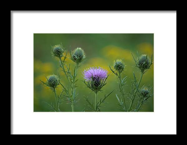 Flower Framed Print featuring the photograph Thorn Buds by Bonfire Photography